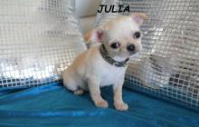 adorabble chihuahua d apparence femelle a donner