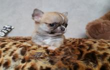 jolie chiot chihuahua femelle