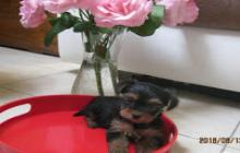 a donner un bb chiot type yorkshire terrier non lof facili