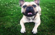 saillie chiot male type bouledogue français